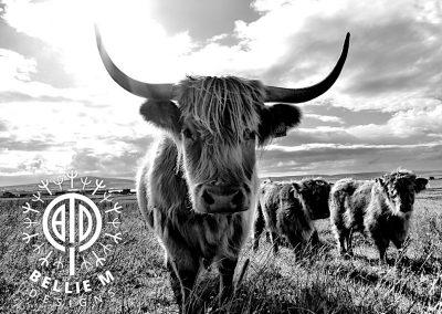 Highland Coo 2